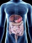 Ilustración del sistema digestivo en silueta masculina transparente . - foto de stock