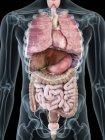 Ilustración de órganos internos en silueta masculina transparente . - foto de stock