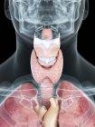 Ilustración de la anatomía de la garganta en silueta masculina transparente . - foto de stock