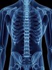 Ilustración de sección media de silueta azul transparente del cuerpo masculino con espalda esquelética . - foto de stock