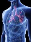 Ilustración de silueta azul transparente del cuerpo masculino con bronquios de colores . - foto de stock