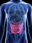 Ilustración de silueta azul transparente del cuerpo masculino con intestino delgado coloreado . - foto de stock
