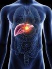 Ilustración de silueta azul transparente del cuerpo masculino con cáncer de hígado coloreado . - foto de stock