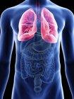 Ilustración de la sección media de los pulmones en silueta corporal masculina . - foto de stock
