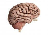 3d ilustración renderizada de cerebro malsano sobre fondo blanco . - foto de stock