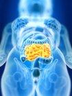 3d renderizado ilustración del intestino delgado femenino de color en silueta corporal . - foto de stock
