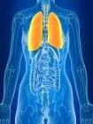 3d renderizado ilustración de los pulmones femeninos de color en silueta corporal . - foto de stock