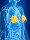 3d renderizado ilustración de las glándulas mamarias femeninas de color en silueta corporal . - foto de stock