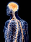 3d hecho ilustración del sistema nervioso humano . — Stock Photo