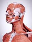 Ilustración 3d de los músculos de la cabeza y el cuello en el cuerpo humano . - foto de stock