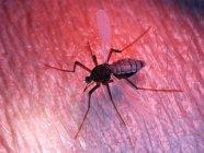 Ilustración coloreada de plaga de mosquitos en la piel . - foto de stock