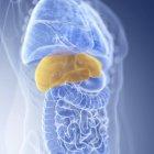 Illustration du foie coloré dans la silhouette du corps humain, gros plan . — Photo de stock