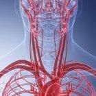 Ilustración médica de vasos sanguíneos humanos del cuello . - foto de stock