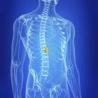Ilustración de la vesícula biliar humana en la silueta corporal . - foto de stock