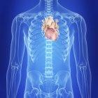 Ilustración del corazón humano en la silueta corporal . - foto de stock