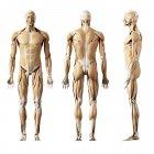 Ilustración de los músculos humanos sobre fondo blanco . - foto de stock