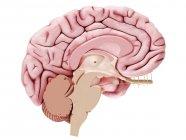 Ilustración del cerebro en sección transversal sobre fondo blanco . - foto de stock
