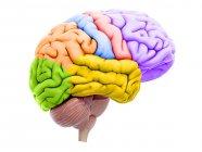 Ilustración de secciones coloreadas del cerebro sobre fondo blanco . - foto de stock