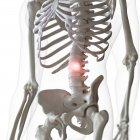 Ilustración digital del dolor en la columna vertebral inferior en el esqueleto humano . - foto de stock