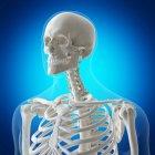 Ilustración digital de huesos del cuello en esqueleto humano . - foto de stock