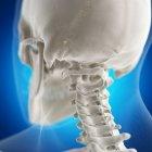 Ilustración digital del hueso del atlas en el esqueleto humano . - foto de stock