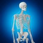 Ilustración de huesos de la parte superior del cuerpo en el esqueleto humano sobre fondo azul . - foto de stock