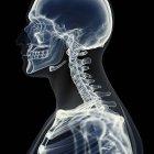 Ilustración de la columna cervical en el esqueleto humano . - foto de stock