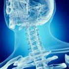 Ilustración de la columna vertebral superior en el esqueleto humano sobre fondo azul . - foto de stock
