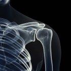 Illustrazione delle ossa della spalla in scheletro umano. — Foto stock