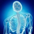 Ilustración de espalda en esqueleto humano sobre fondo azul . - foto de stock