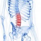Ilustración de la columna lumbar en el esqueleto humano sobre fondo blanco . - foto de stock