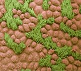 Micrografía electrónica de barrido de color de la superficie de la trompa de Falopio humana con epitelio de células columnares con cilios . - foto de stock