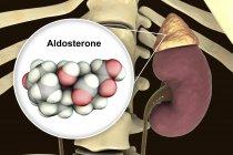 Illustrazione della ghiandola surrenale e modello molecolare dell'ormone steroide Aldosterone . — Foto stock