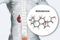 Illustration de la glande surrénale et modèle moléculaire de l'hormone stéroïde Aldostérone . — Photo de stock