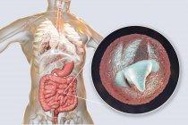 Criptosporidium parvum parásito en el cuerpo humano que causa criptosporidiosis, ilustración digital . — Stock Photo