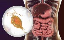 Pentatrichomonas hominis protozoo en intestino grueso humano, ilustración digital . - foto de stock