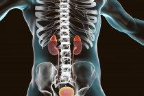 Kidneys and adrenal glands highlighted inside human body, digital illustration. — Stock Photo