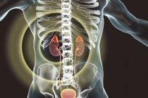 Rins e glândulas supra-renais destacados dentro do corpo humano, ilustração digital . — Fotografia de Stock