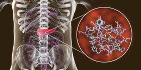 Páncreas en el cuerpo humano y vista de cerca de la molécula de insulina, ilustración digital . - foto de stock