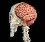 Calavera humana de sección media sagital con cerebro en perspectiva vista sobre fondo negro . - foto de stock