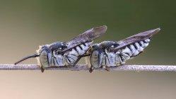 Крупний план різання листа з зозулею бджоли сплять на тонкому відділенні. — стокове фото
