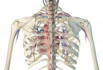 Jaula de costillas humanas que muestra el corazón con vasos y árbol bronquial sobre fondo blanco . - foto de stock