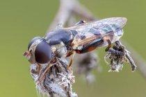 Plan rapproché de l'aoverfly à pattes épaisses sur la plante sauvage séchée. — Photo de stock