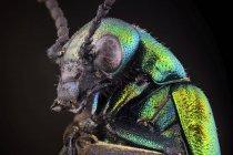 Primo piano del ritratto di scarabeo blister verde brillante su sfondo nero . — Foto stock