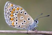 Idas blue butterfly sitting on dried stem. — Photo de stock