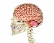 Cráneo humano de sección media sagital con cerebro sobre fondo blanco . - foto de stock