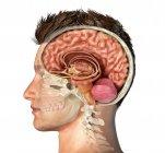 Cabeza masculina con sección transversal del cráneo con cerebro cortado sobre fondo blanco . - foto de stock