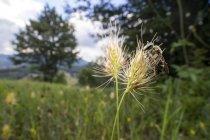 Abeja sudorosa sentada en la parte superior de la cabeza de semilla de hierba . - foto de stock