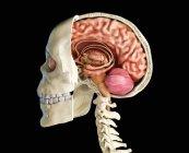 Cráneo humano de sección media sagital con cerebro, vista lateral sobre fondo negro . - foto de stock
