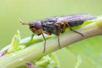 Plan rapproché de mouche d'image-aile s'asseyant sur la tige sauvage de plante. — Photo de stock